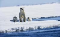 Заставки Семья полярного медведя высокого качества