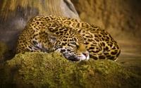 картинки красивый ягуар