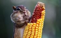 картинки бурундук ест кукурузу