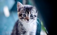 картинки котенок с голубыми глазами