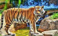 картинки молодой тигр hdr