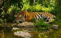 картинки восхитительный тигр