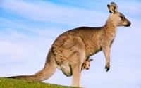 Обои кенгуру с детенышем для Windows