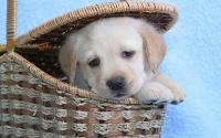 картинки щенок лабрадора в корзинке