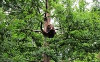 картинки карпатский медведь на дереве