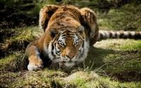 картинки тигр готов атаковать