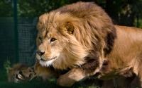 Картинки Бегущий лев хорошего качества