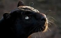 картинки черный ягуар