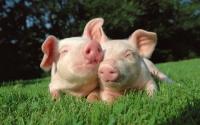 картинки две свинки в любви