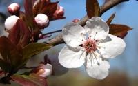 картинки цветы сливы